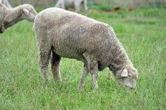 Pecore di Colombia Immagini Stock
