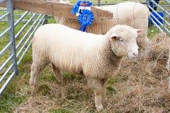 Pecore di conquista del premio all'esposizione agricola Immagine Stock Libera da Diritti