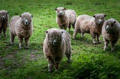 Pecore di Cotswold Immagini Stock Libere da Diritti