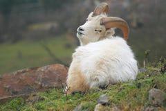 Pecore di Dall Immagine Stock