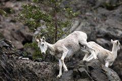 Pecore di Dall Alaska Immagini Stock Libere da Diritti