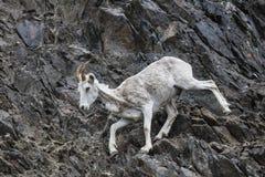 Pecore di Dall Alaska Fotografia Stock Libera da Diritti