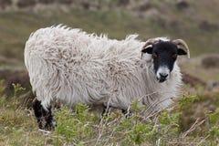 Pecore di Dartmoor Fotografia Stock