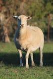 Pecore di Dorper Fotografie Stock Libere da Diritti