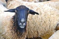Pecore di Dorper al macello Fotografie Stock Libere da Diritti