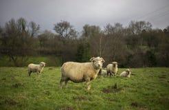 Pecore di Dorset Immagine Stock Libera da Diritti