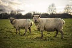 Pecore di Dorset Fotografie Stock Libere da Diritti