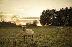 Pecore di Dorset Fotografia Stock Libera da Diritti
