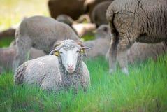 Pecore di Dorset Fotografie Stock