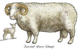 Pecore di Dorset Horn Fotografie Stock Libere da Diritti