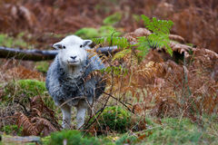 Pecore di Herdwick Fotografie Stock