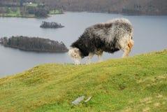 Pecore di Herdwick Fotografie Stock Libere da Diritti