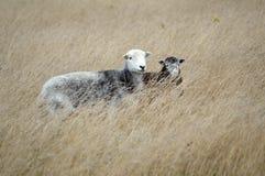 Pecore di Herdwick sui bassi del sud Fotografie Stock Libere da Diritti