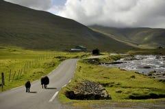 Pecore di isole faroe sulla strada Immagini Stock