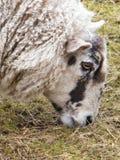 Pecore di Lancashire Immagine Stock