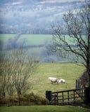 Pecore di Lingua gallese Fotografie Stock