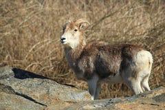 Pecore di Marco Polo fotografie stock libere da diritti