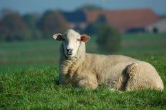 Pecore di menzogne fotografia stock libera da diritti