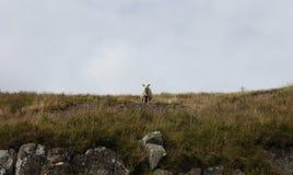Pecore di montagna Fotografie Stock
