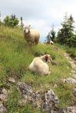 Pecore di montagna Immagine Stock