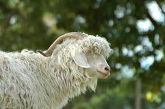 Pecore di montagna Immagini Stock