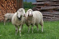 Pecore di montagna 3 Immagini Stock