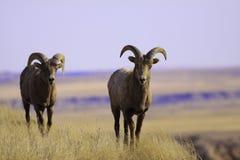 Pecore di montagna immagini stock libere da diritti