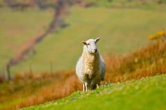Pecore di montagna Immagine Stock Libera da Diritti