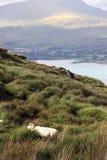 Pecore di montagna 5 Fotografia Stock