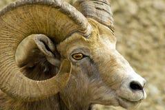 Pecore di montagna Fotografie Stock Libere da Diritti