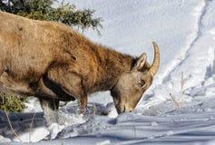 Pecore di montagna del Colorado Fotografia Stock Libera da Diritti