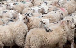 Pecore di montagna di Lingua gallese Fotografia Stock Libera da Diritti