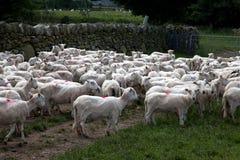 Pecore di montagna di Lingua gallese Immagini Stock Libere da Diritti