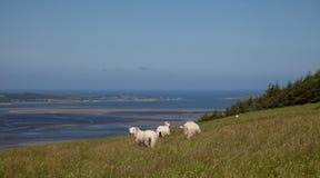 Pecore di montagna di Lingua gallese Immagini Stock