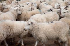 Pecore di montagna di Lingua gallese Fotografia Stock