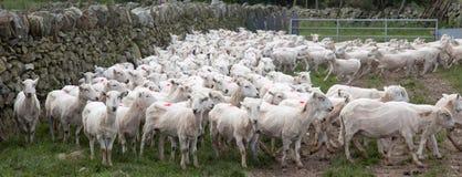 Pecore di montagna di Lingua gallese Fotografie Stock Libere da Diritti