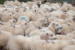 Pecore di montagna di Lingua gallese Fotografie Stock