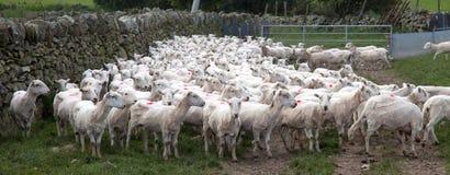 Pecore di montagna di Lingua gallese - rase appena Fotografie Stock