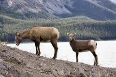 Pecore di montagna rocciosa Immagini Stock