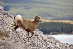 Pecore di montagna rocciosa Immagini Stock Libere da Diritti