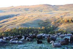 pecore di montagne Immagine Stock Libera da Diritti