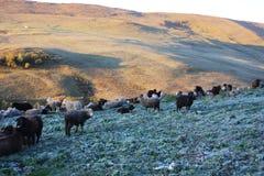 pecore di montagne della moltitudine Fotografie Stock Libere da Diritti