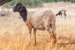 Pecore di Morrocan nel campo Fotografia Stock