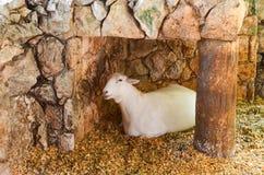 Pecore di Natale Fotografia Stock Libera da Diritti