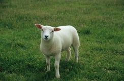 Pecore di Pasqua del bambino Fotografia Stock Libera da Diritti