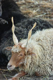 Pecore di Racka fotografie stock libere da diritti