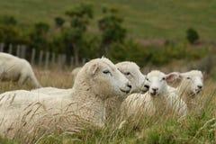 Pecore di riposo Immagini Stock