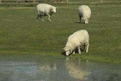 Pecore di Romney Fotografia Stock Libera da Diritti