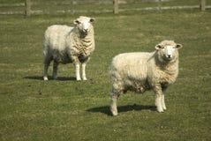 Pecore di Romney Immagine Stock