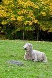 Pecore di Romney Fotografie Stock